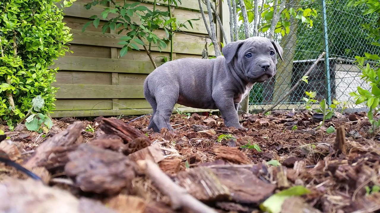 American Bully Kennel The Falcon - Lionheart Bloodline