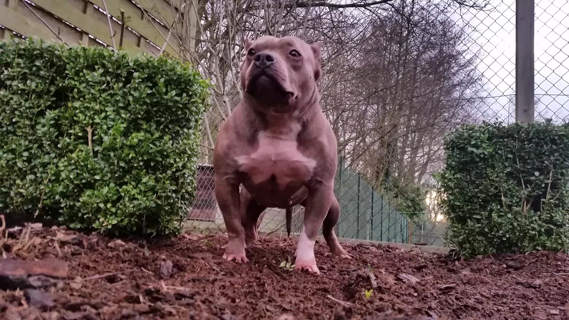 American Bully Kennel The Falcon Lionheart Bloodline Candy