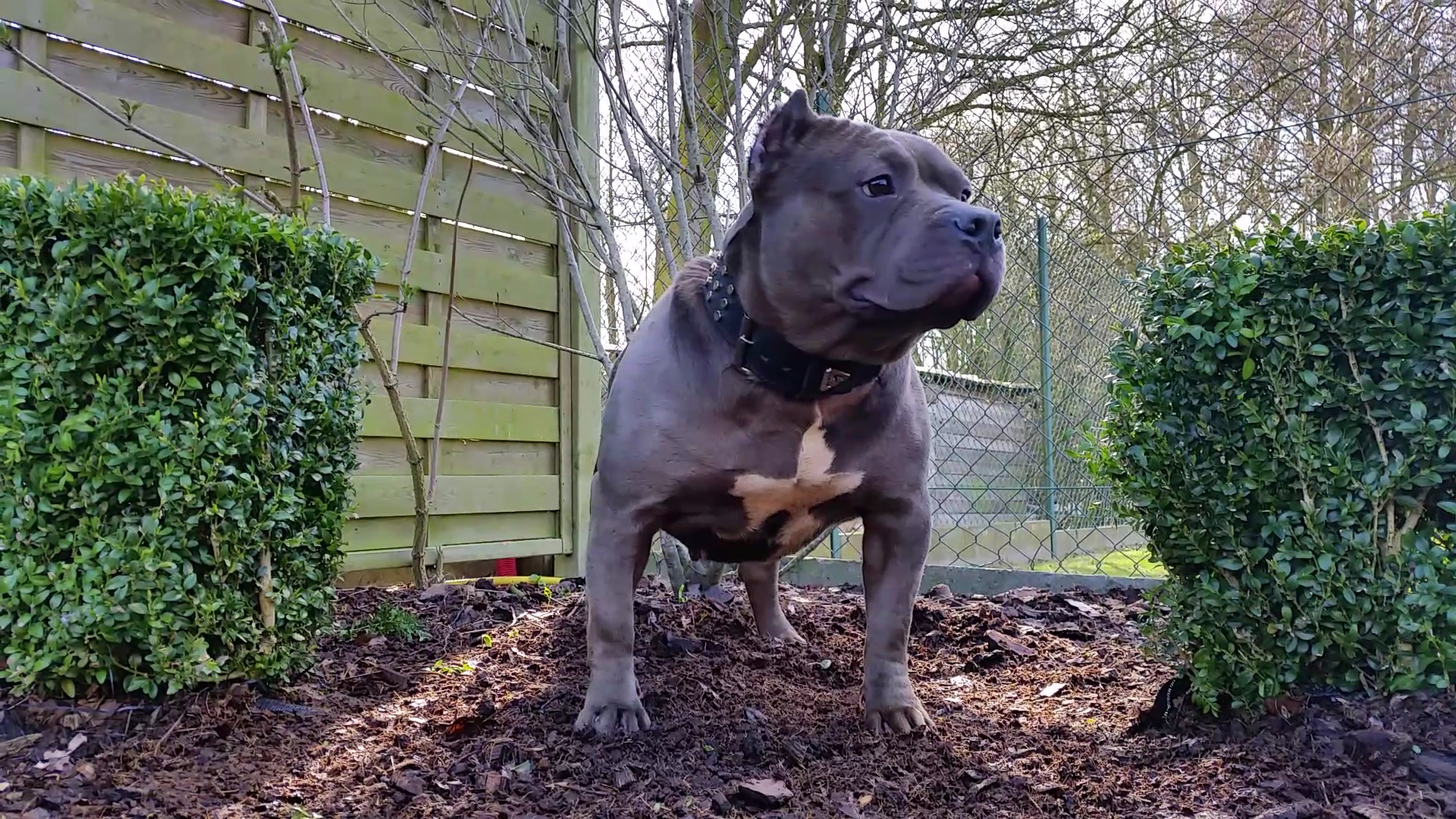 American Bully Kennel The Falcon Lionheart Bloodline Gina