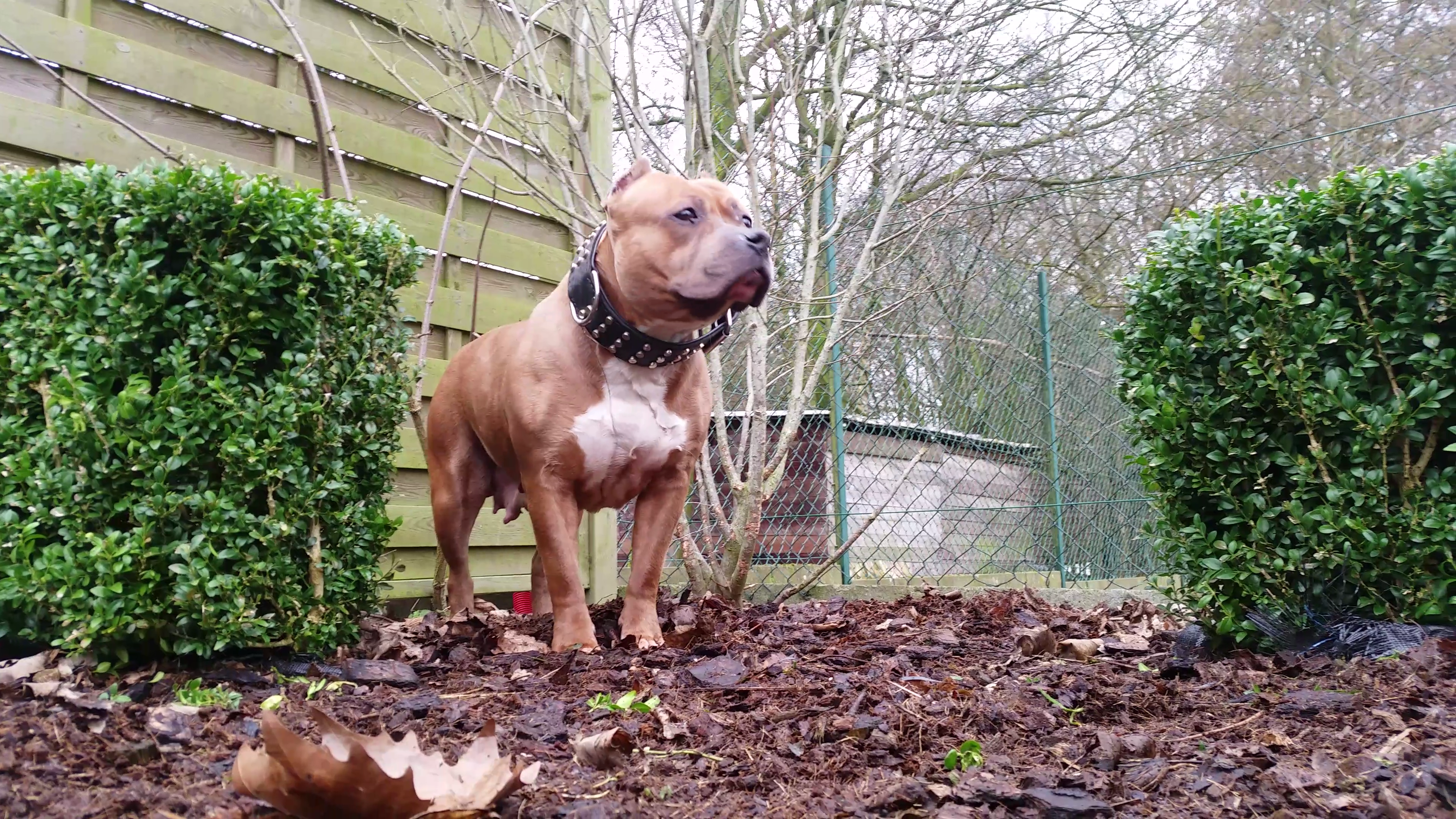 American Bully Kennel The Falcon Lionheart Bloodline Magic