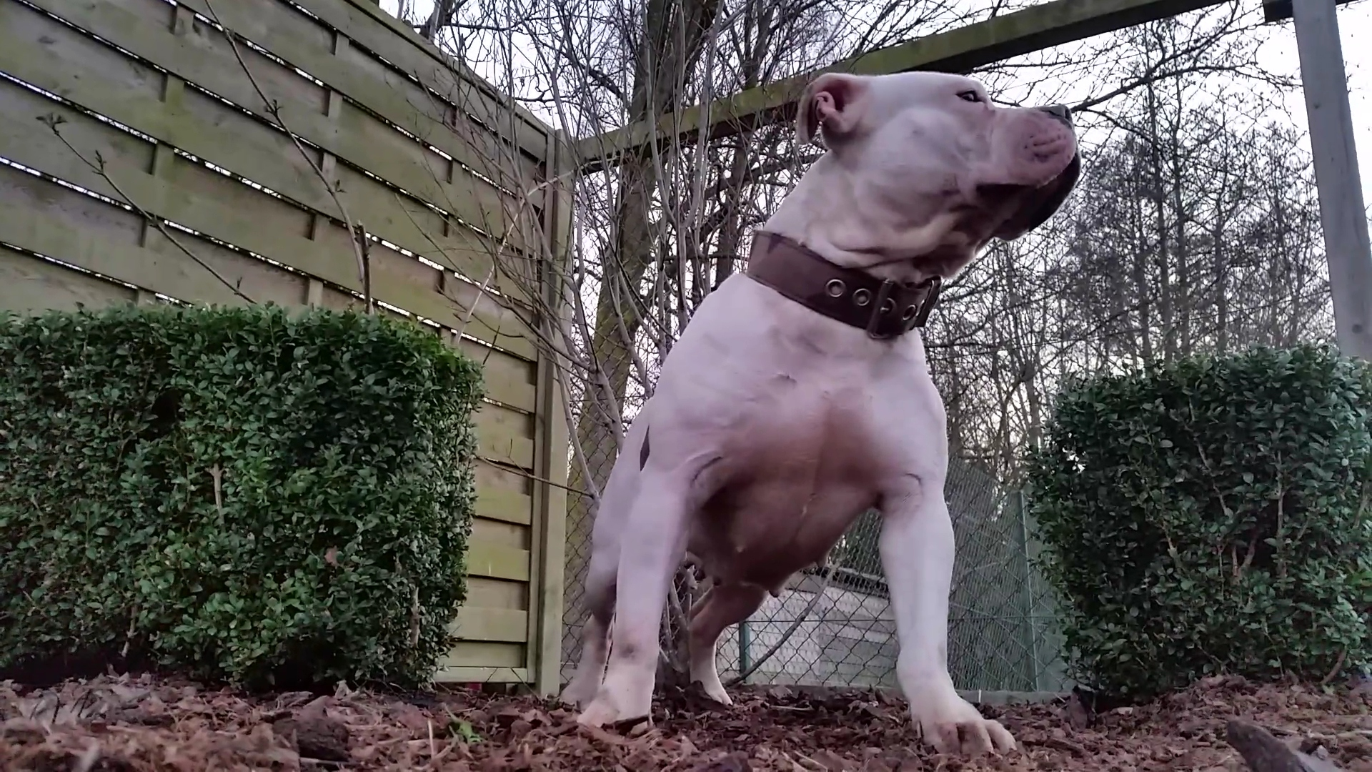 American Bully Kennel The Falcon Lionheart Bloodline Shiva